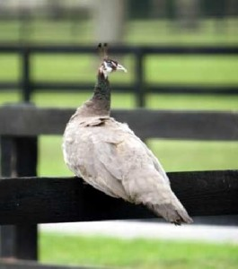 Buford_Bronze_peahen