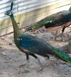muticus-spicifer-green-hen